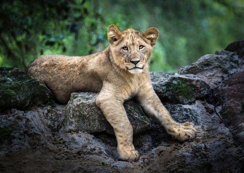 Заставки львёнок, хищник, большая кошка