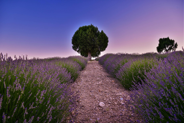 Обои закат, поле, лаванда, дерево