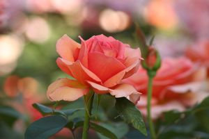 Photo free rose, original, colorful