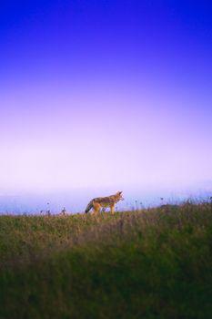 Photo free fox, grass, sky