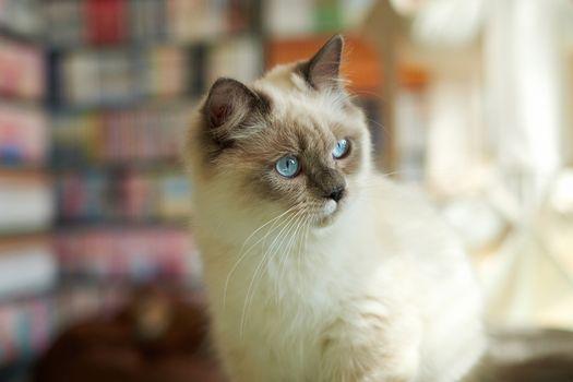 Photo free birman, kitten, mustache