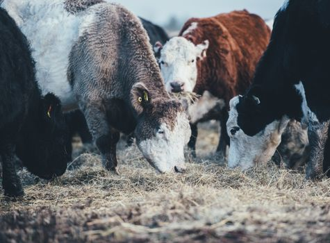 Фото бесплатно коровы, быки, пастбище
