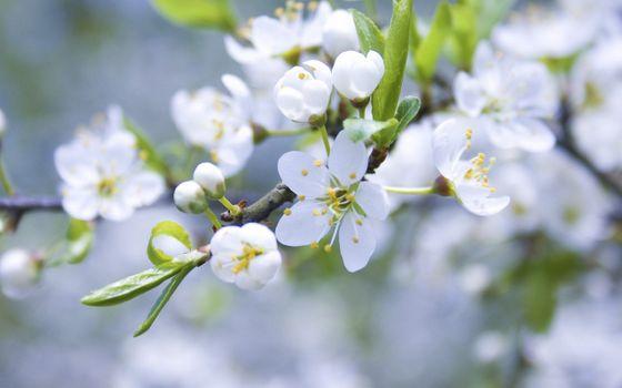 Фото бесплатно белые весенние цветы, цветок, бутоны
