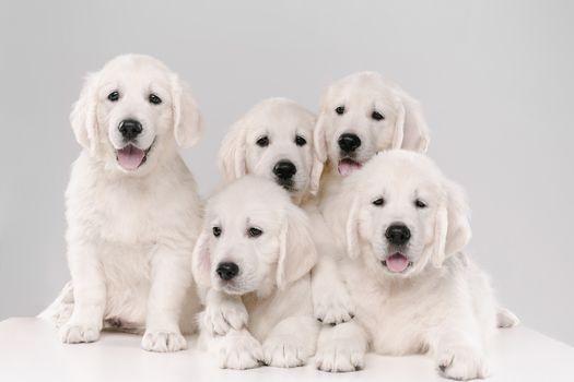 Фото бесплатно животное, щенки, золотой ретривер