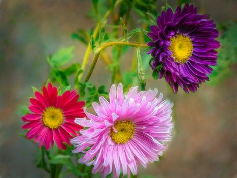 Photo free flowers, Astra, colorful