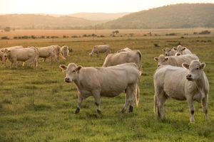 Фото бесплатно животное, корова, утро