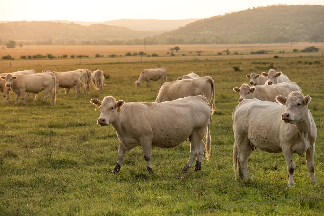 Фото животное корова утро - бесплатные картинки на Fonwall