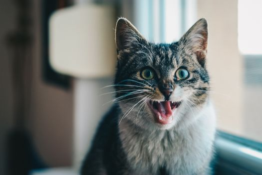 Photo free cat, open mouth, scream