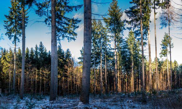 Photo free nature, denmark, spruce