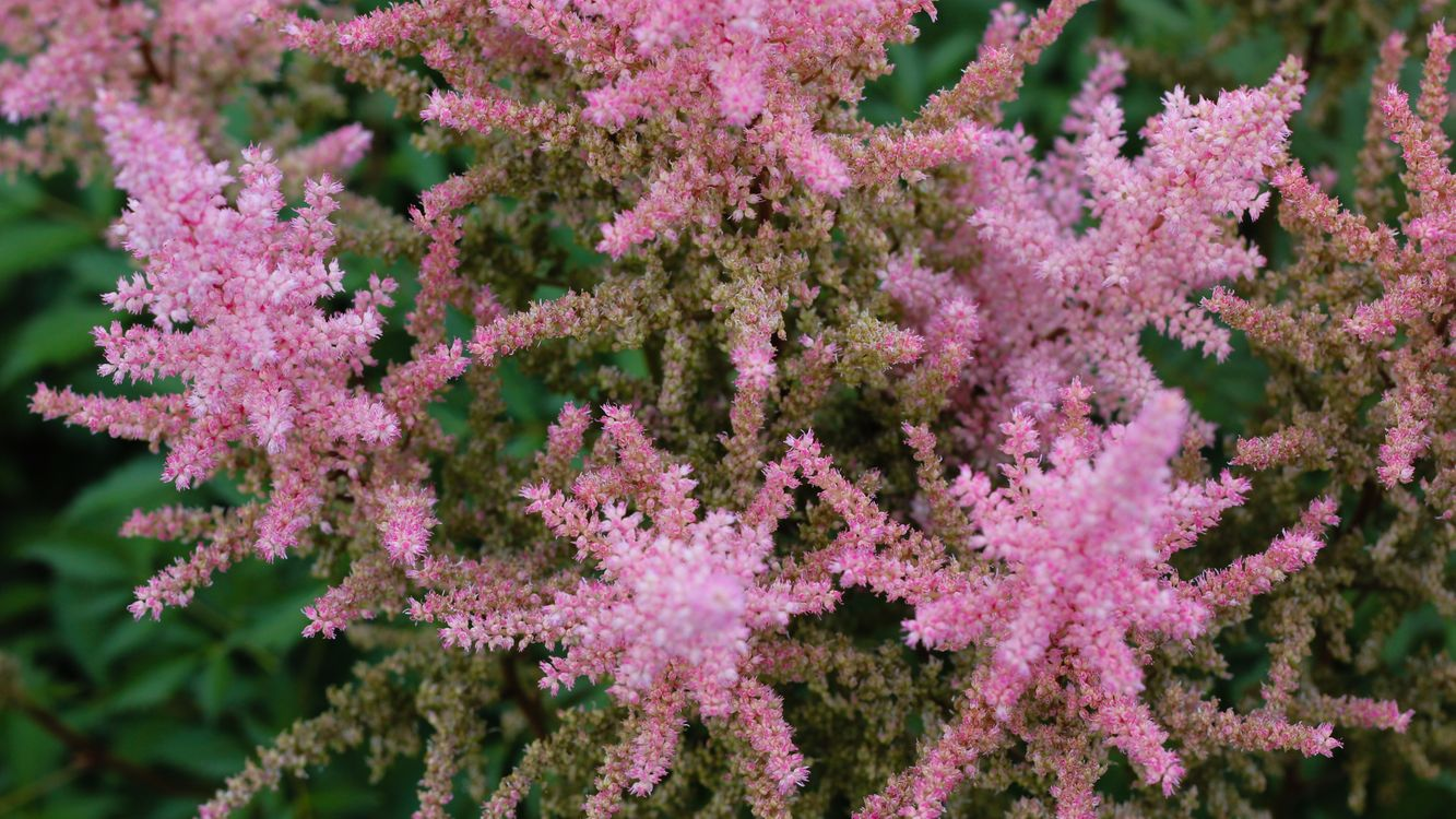 Free photo flowers, plants, pink flowers - to desktop