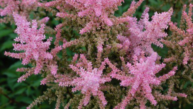 цветы,растения,розовые цветы,blossom,plants