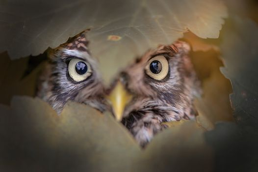 Photo free owl, stare, birds