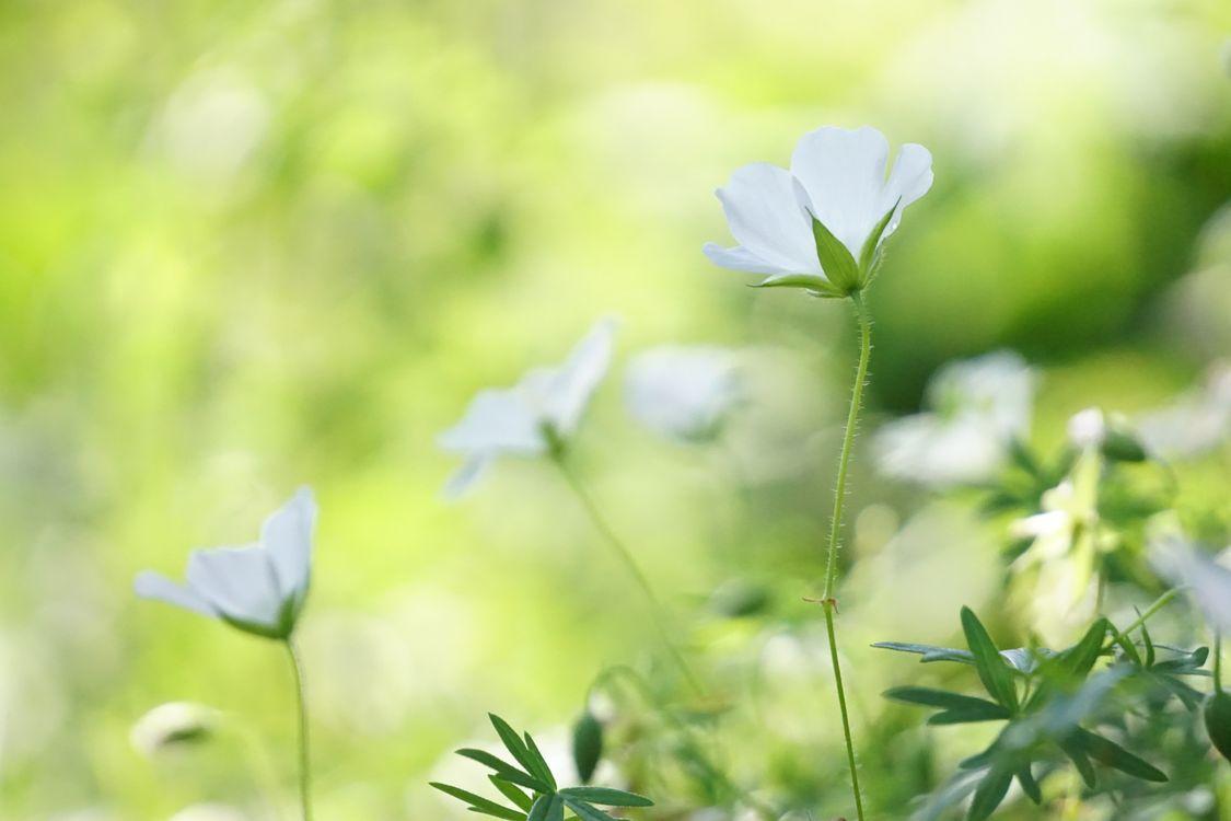 Обои белый, цветок, анемон, зеленый, флора, растение, дикий цветок картинки на телефон