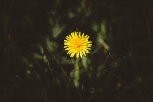 Бесплатные фото одуванчик, цветок, бутон, желтый, dandelion, flower, bud