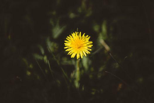Фото бесплатно одуванчик, цветок, бутон