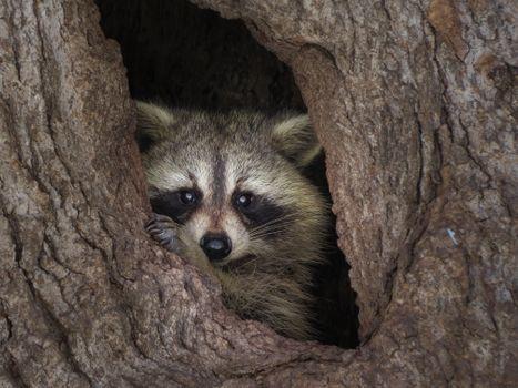Photo free hollow, raccoon, tree