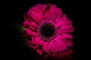 Бесплатные фото Purple gerbera,цветок,цветы,флора,цветочная композизия,чёрный фон