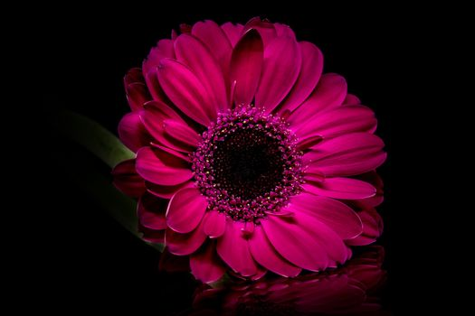 Photo free Purple gerbera, flower, flowers