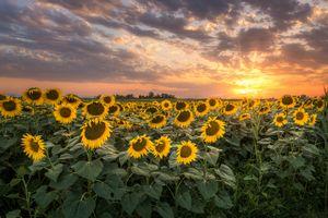Фото бесплатно закат, поле, подсолнухи