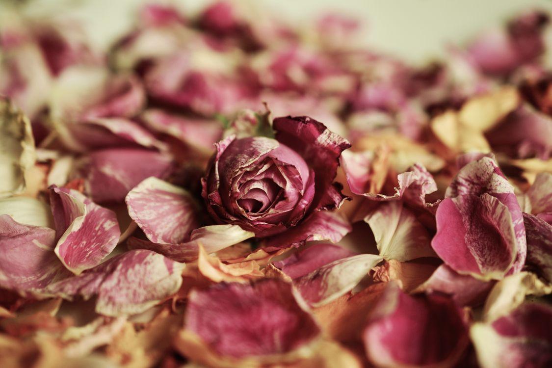 Фото бесплатно сухая роза, лепестки, бутон - на рабочий стол