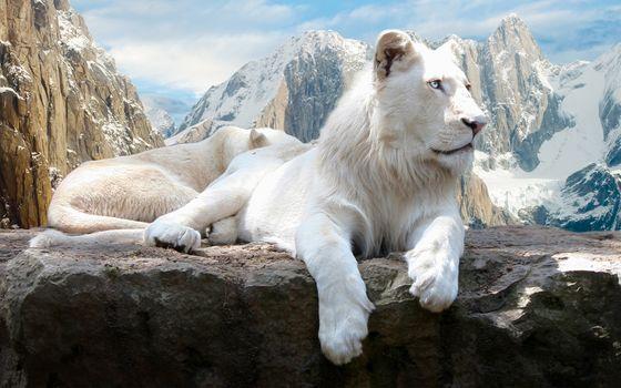 Фото бесплатно белые львы, отдах, на скале