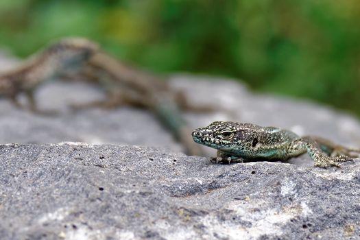 Photo free lizard, reptile, rock