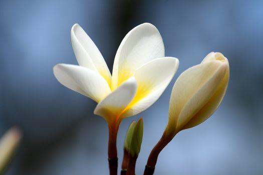 Photo free plumeria, petals, opened