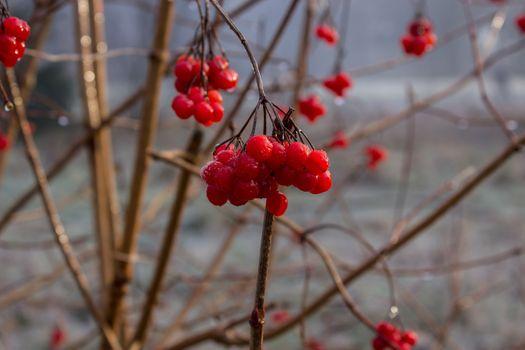 Photo free a rowanberry, red, twigs
