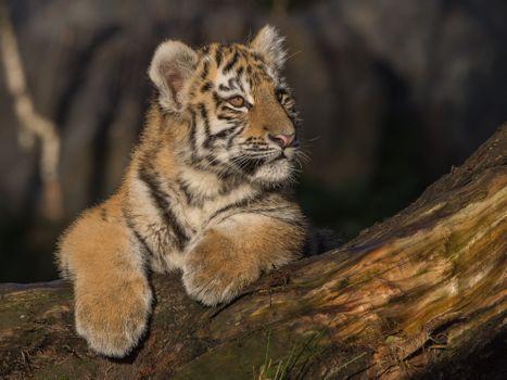 Фото бесплатно тигрёнок, хищник, большая кошка