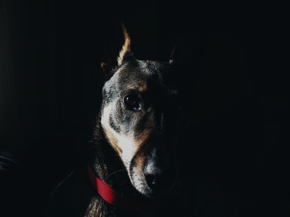 Фото бесплатно доберман, собака, морда - на рабочий стол