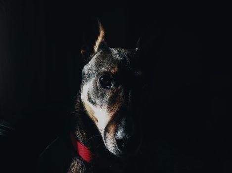 Бесплатные фото доберман,собака,морда,воротник,посмотрите,dog,muzzle,collar,look