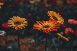 Красивый цветок гербера