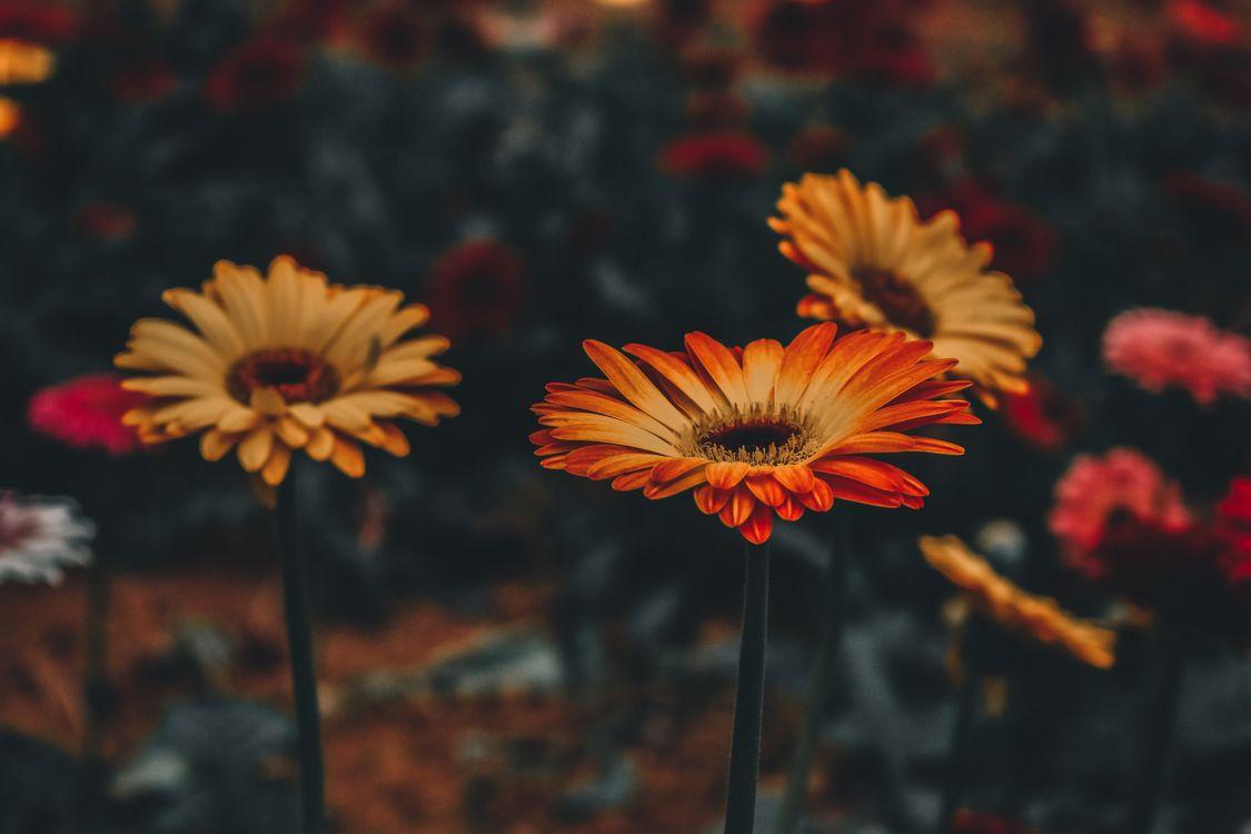 Красивый цветок гербера · бесплатное фото