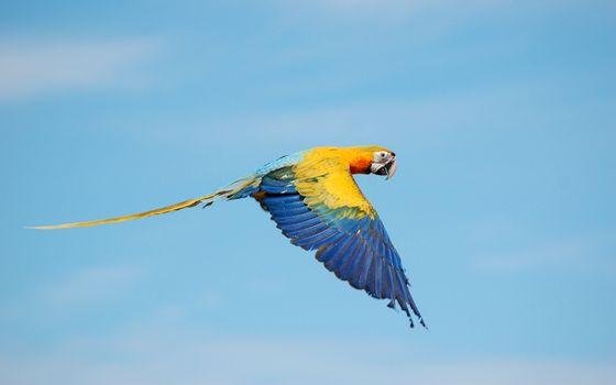 Заставки полет, небо, попугай