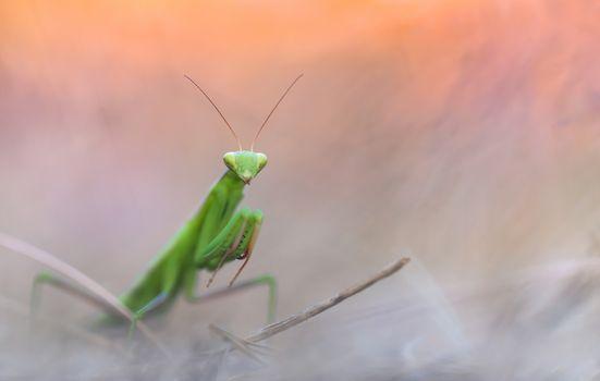 Фото бесплатно богомол, насекомые, близко