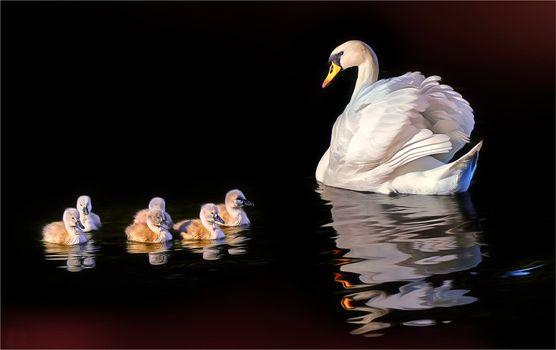 Фото бесплатно ночь, водоём, лебедь
