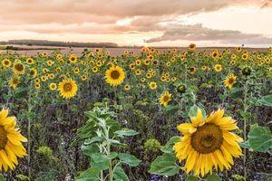 Бесплатные фото закат, поле, подсолнухи, пейзаж