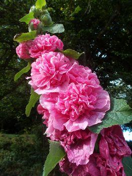 Фото бесплатно цветы розового цвета, цветы, цвета