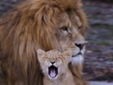 Фото бесплатно семья Льва, львенок, хищник