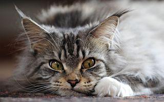 Фото бесплатно кошка, полосатый, лежа