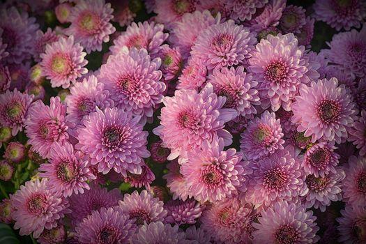 Фото бесплатно цветочный фон, хризантемы, цветы