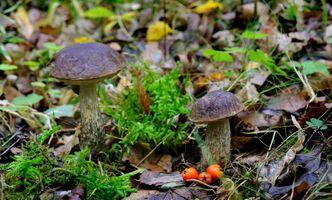 Фото бесплатно грибы, подберёзовик, ягоды
