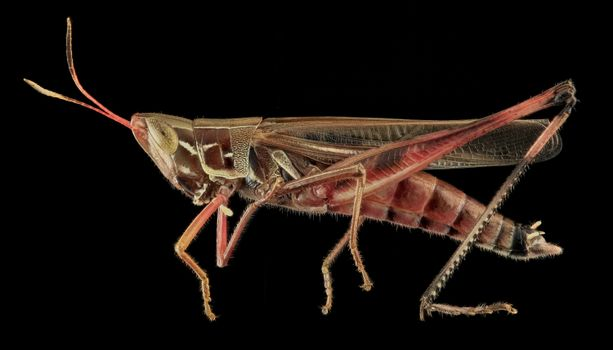 Photo free fauna, handsome grasshopper, cricket like insect