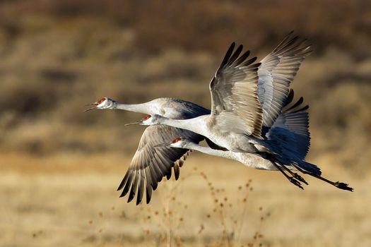 Photo free wildlife, goose, beak