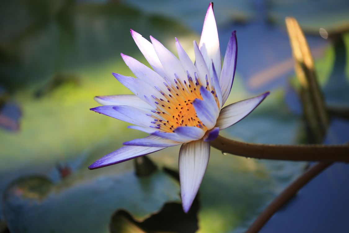 Free photo beautiful flower, water beauty, water lily - to desktop