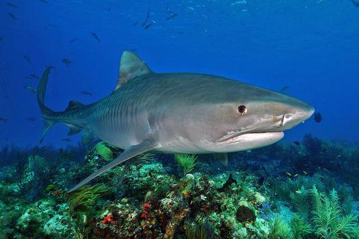 Заставки Морские обитатели, Акулы, Акула