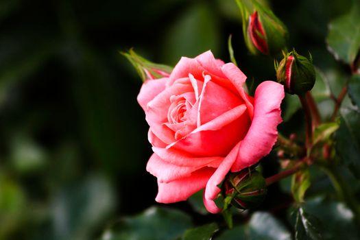 Фото бесплатно роза, розы, бутоны