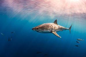Бесплатные фото Морские обитатели,Акулы,Акула,море