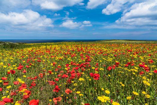 Фото бесплатно поле, цветы, маки