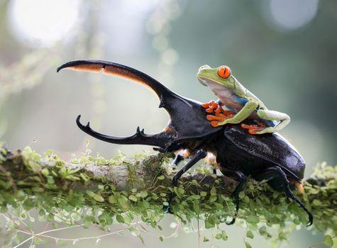 Лягушка верхом на жуке